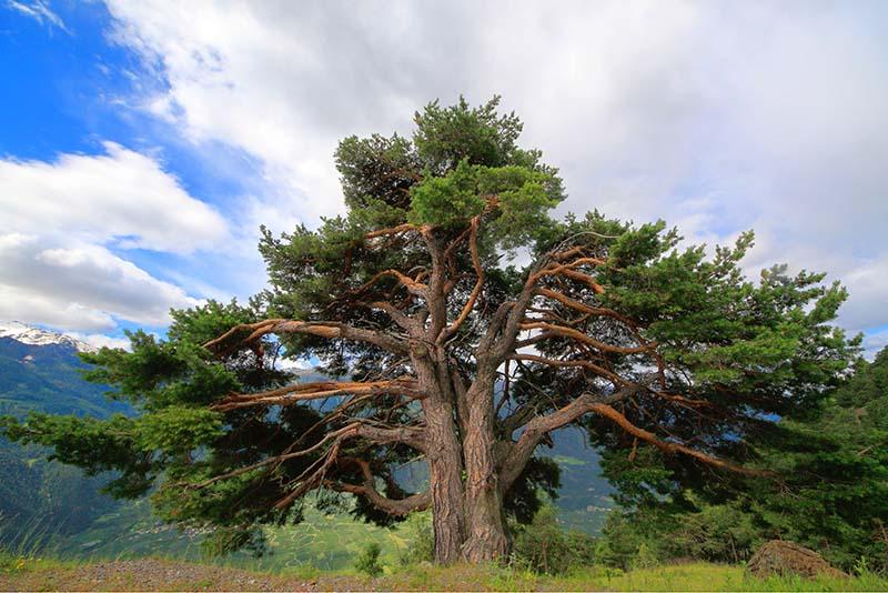 Zirbelkiefer (Pinus cembra)